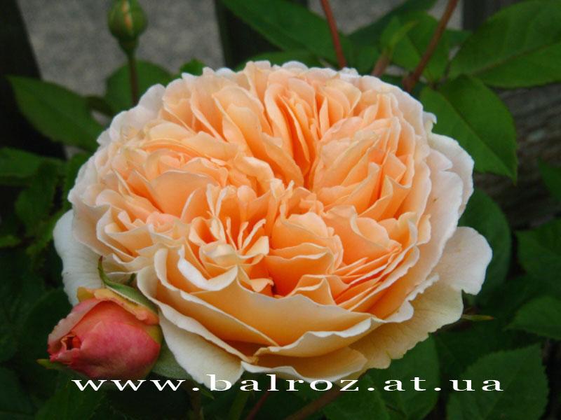 Английские розы - Фото-каталог - Фото-альбом - BalRoz.